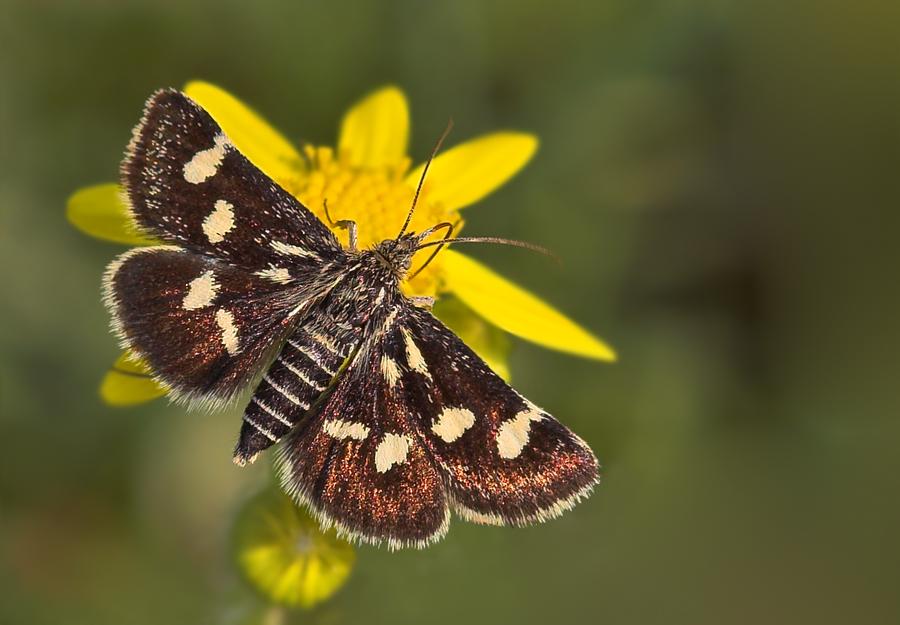 Zünsler - Eurrhypis pollinalis