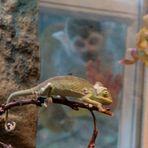 Zufall , zeigt aber deutlich was er will ,Chameleons und Heuschrecken hat er zum fressen gern