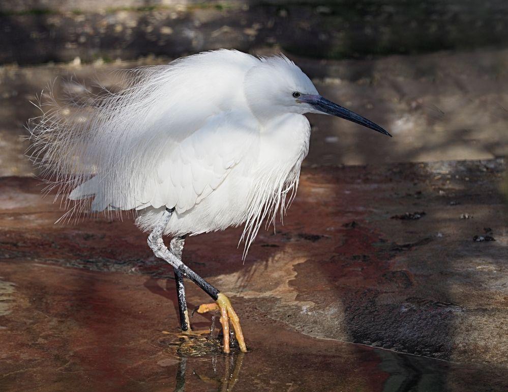 Zug Zoo Vogel, weisser Reiher