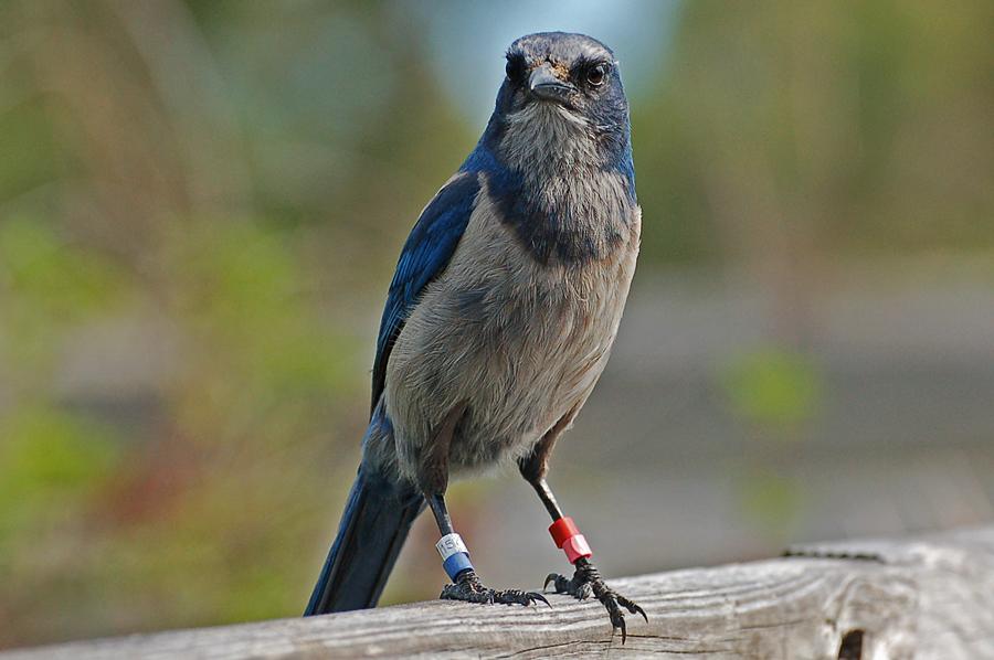 Zum Buschhäher - Florida Scrub-Jay (Aphelocoma coerulescens)...