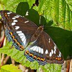 Zum Earth Day am 22.4.2019: Grosser Eisvogel (Limenitis populi) - Le Grand Sylvain.