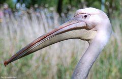 Zum letzten Mal,ich bin ein Pelikan und habe keine Gänsehaut !