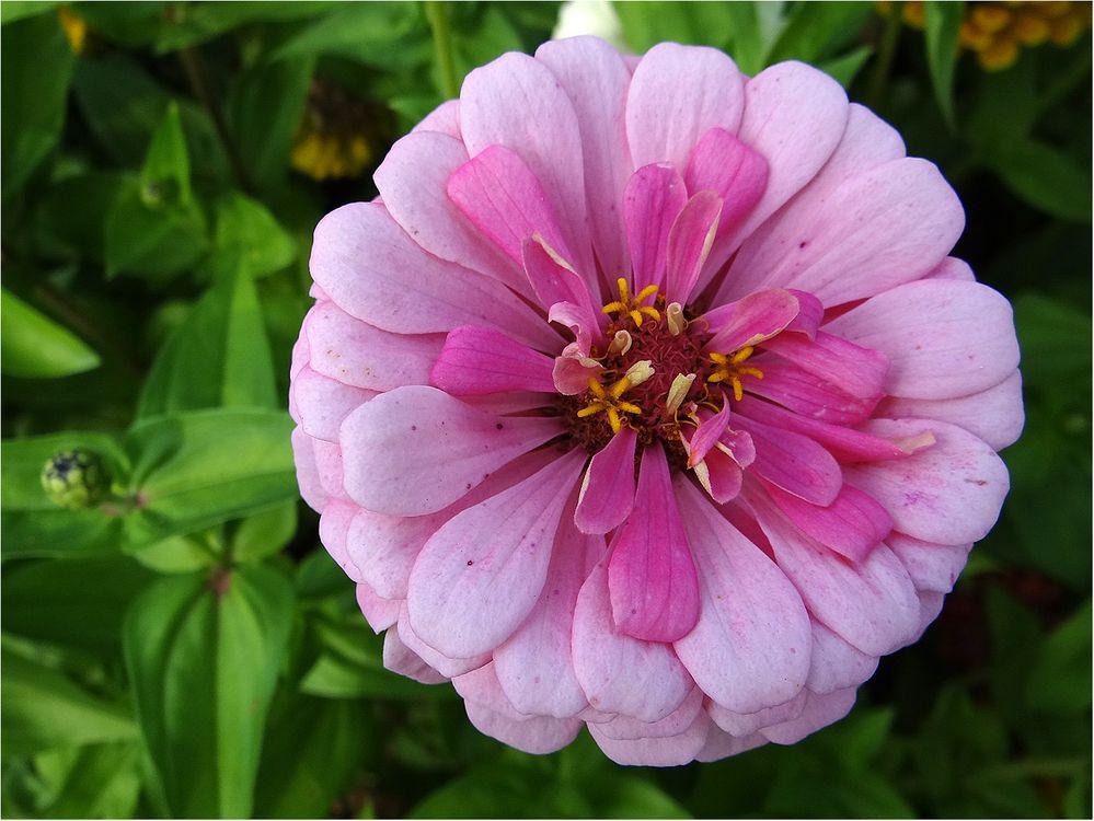 Zum Mittwoch eine Zinnienblüte