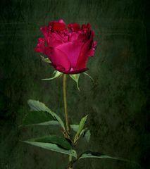 zum 'Rosen-Monat' Juli ...