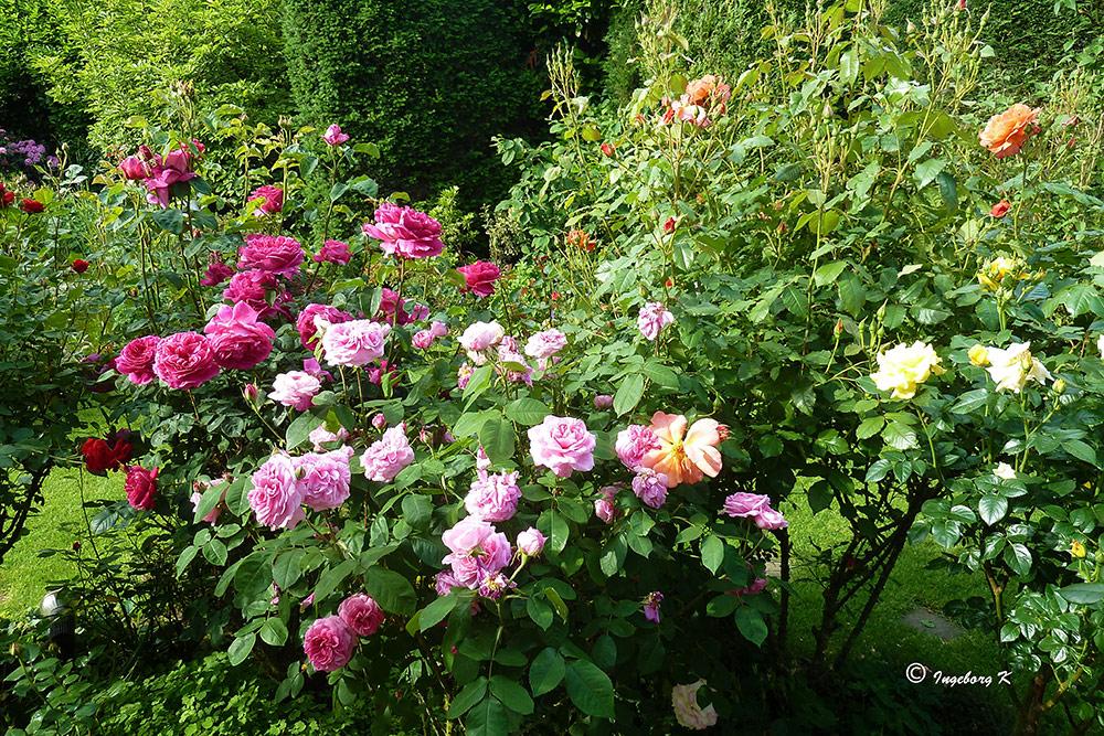 Zum Sommeranfang: Rosen aus meinem Garten