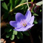- Zum Sonntag ein Leberblümchen - ( Hepatica nobilis )