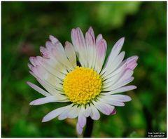 - Zum Sonntag Gänseblümchen Nr. 1 - ( Bellis perennis )