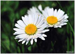 - Zum Sonntag Gänseblümchen Nr. 2 -    ( Bellis perennis )