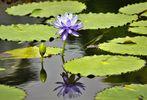 Zum Spiegeltag eine blaue Seerose