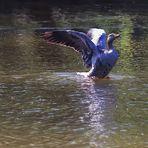 Zum  Spiegeltag oder wenn Enten übers Wasser laufen wollen