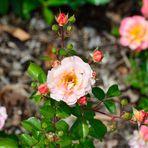 Zum Tag des Duftes gibt es Rosen