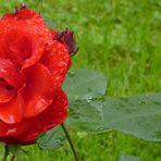 ZUM THEMA: Wenn die Rosen blühen...