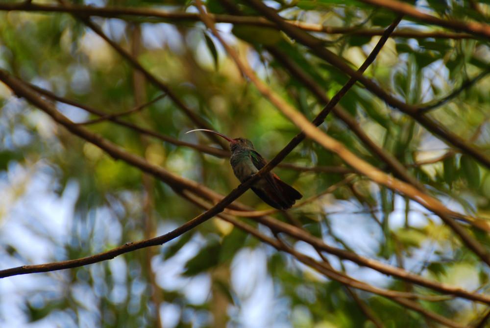 Zunge herausstreckender Kolibrie