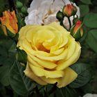 Zur Abwechslung Rosen