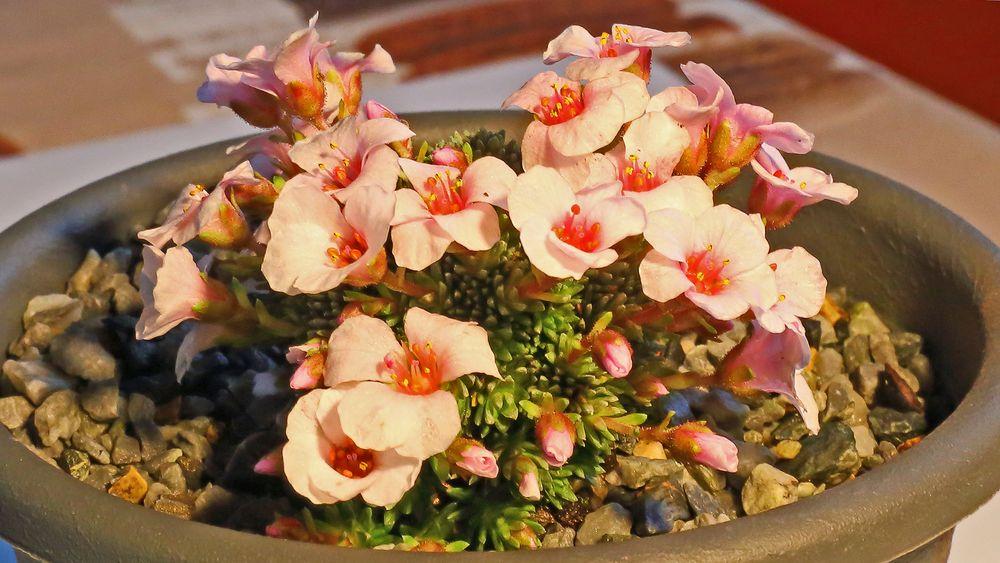 """Zur Vosicht Saxifraga """"sarca"""" rosa hereingeholt im Garten..."""
