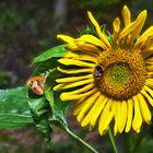 Zurück in den Sommer mit Sonnenblume, Schmetterling und Humme!