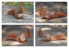 Zutrauliches Eichhörnchen