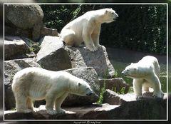Zwar nicht Knut , dafür aber drei auf einen Fleck !