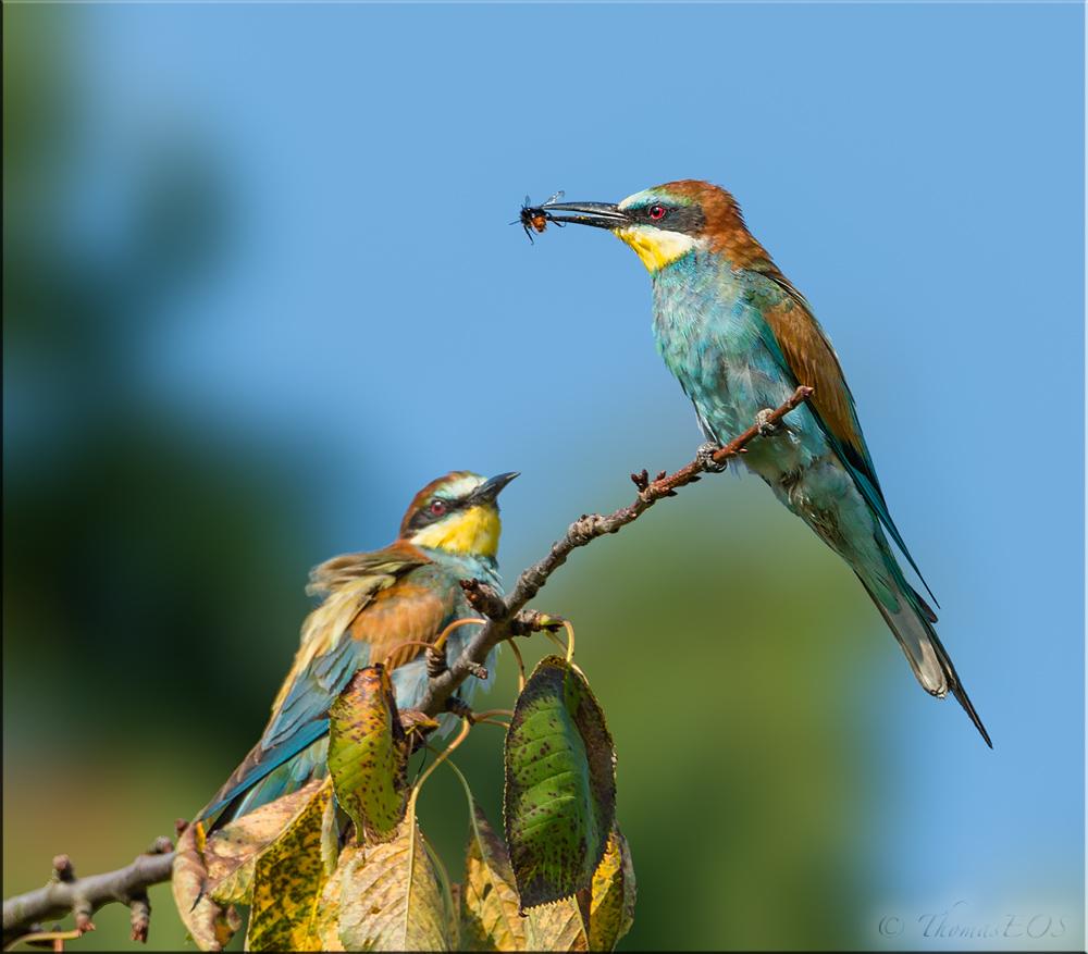 Zwei Altvögel