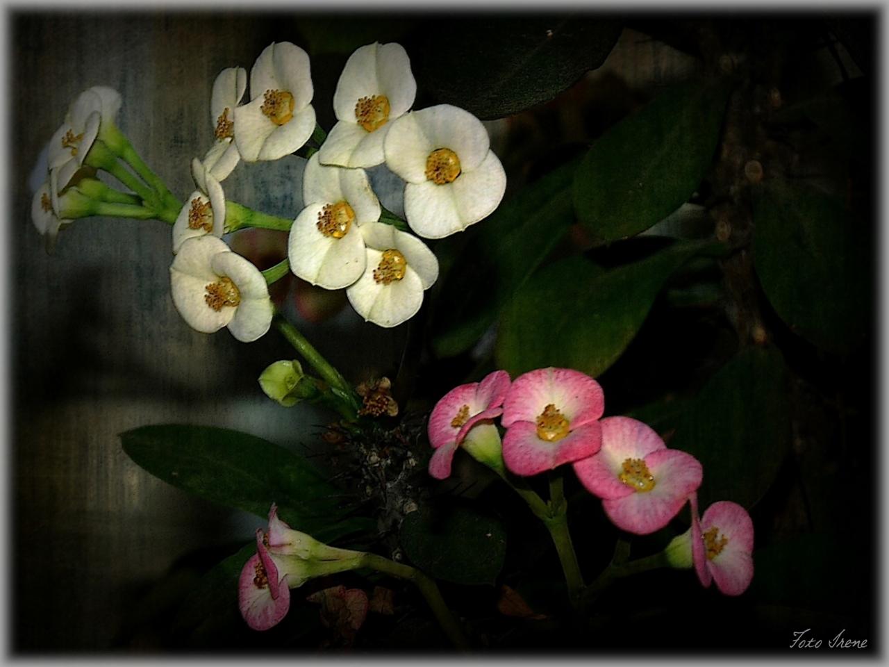 Zwei Blüten-Farben an einen Stock