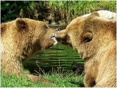 zwei Braunbären mit Feingefühl