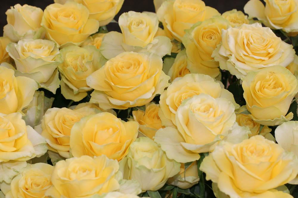 Zwei Dutzend gelbe Rosen