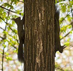 Zwei Eichhörnchen mit einem Klick!