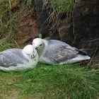 Zwei Eissturmvögel