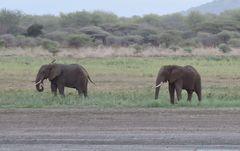 Zwei Elefanten.