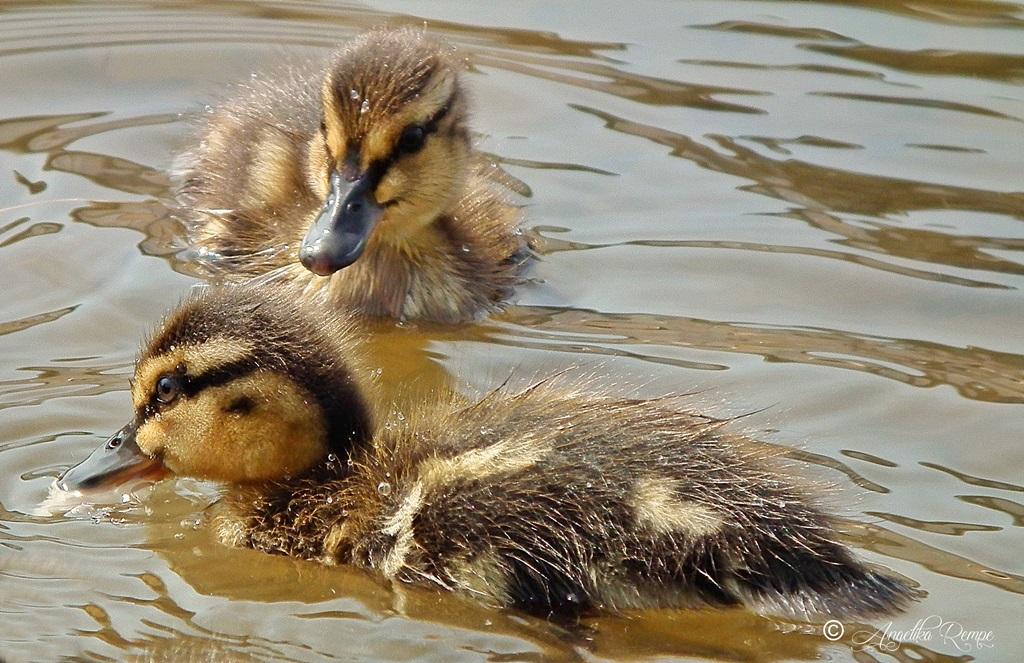 Zwei Enten