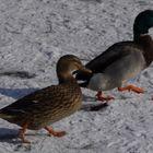 Zwei Enten auf Eis und Schnee