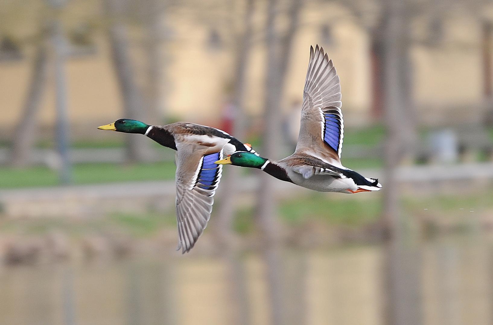 Zwei Enten im Flug beim Schloss Monrepos in Ludwigsburg
