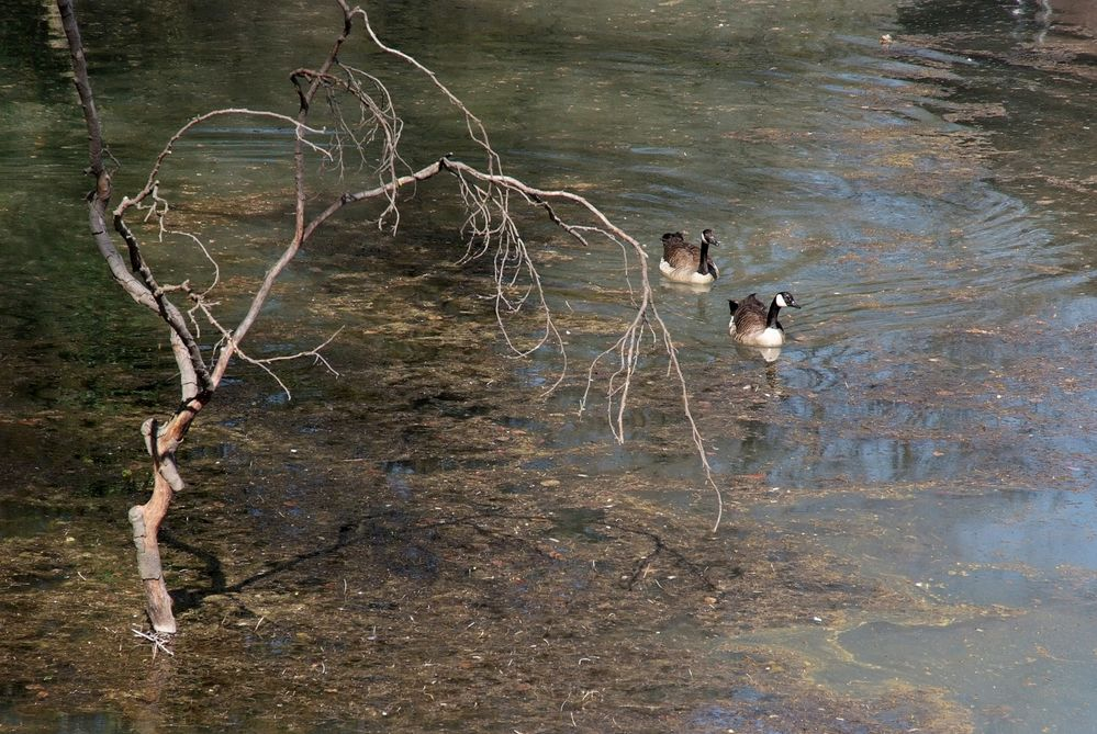 zwei Enten im See