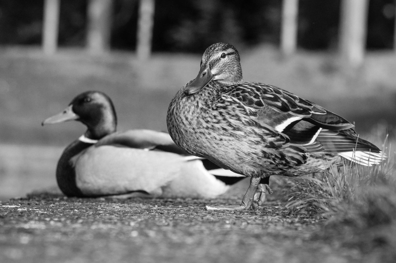 zwei Enten in Bremen