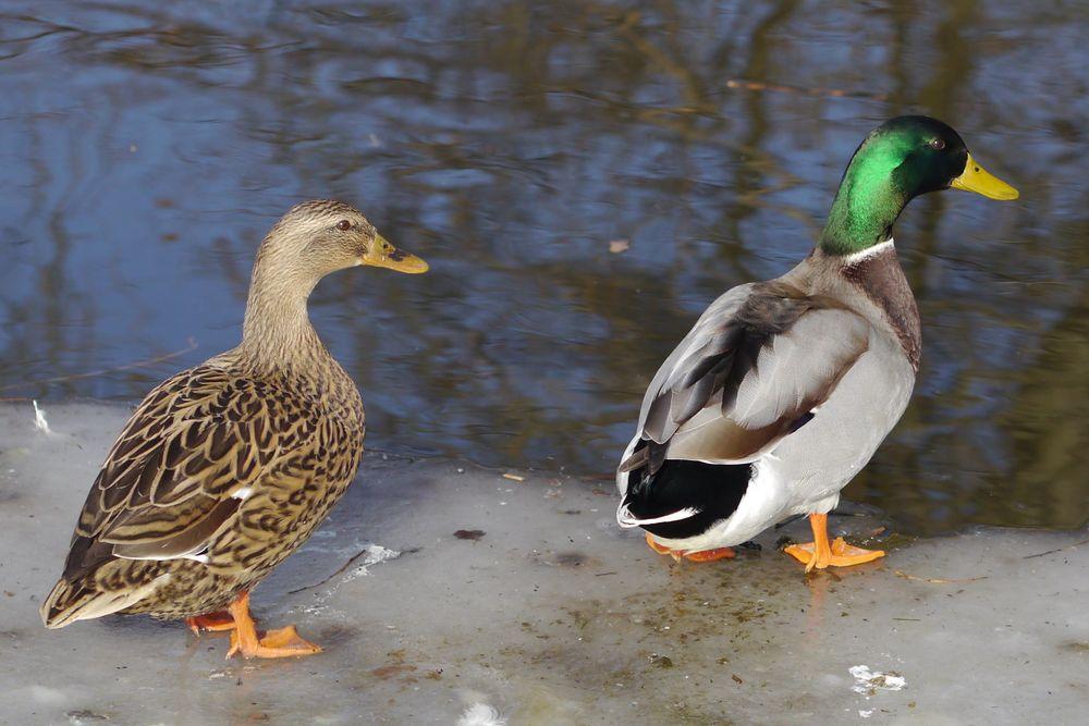 Zwei Enten zwischen Wasser und Eis
