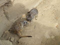 zwei Erdmännchen im Zoo Hannover