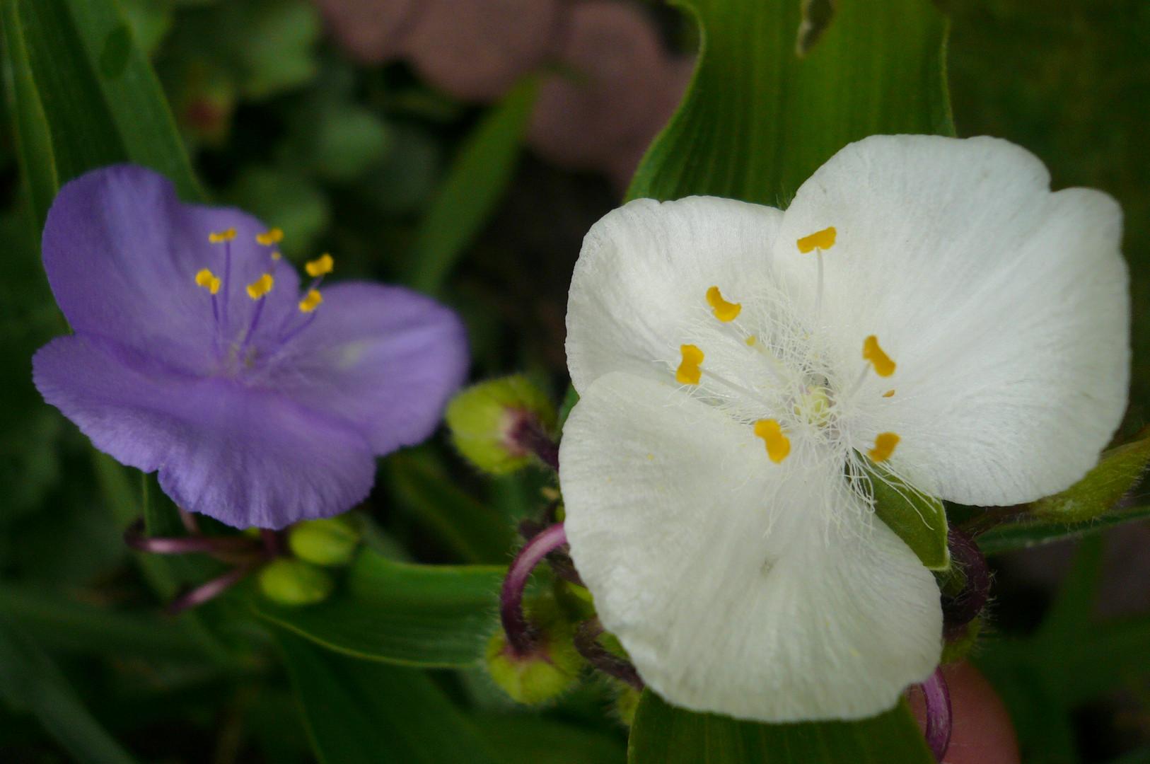 Zwei Farben an einer Blume
