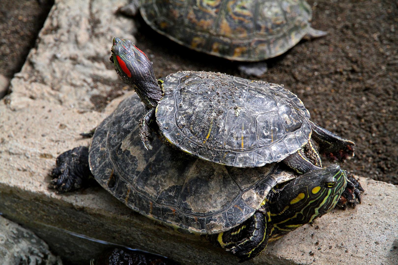 Zwei Flussschildkröten