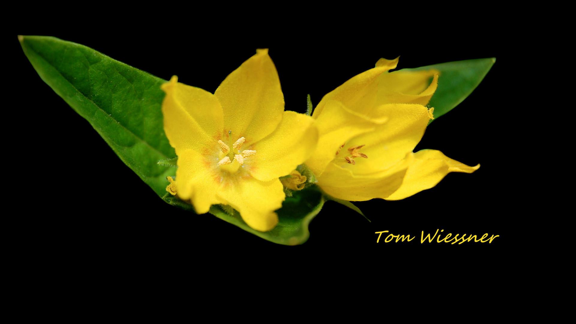 Zwei Gelbe Blumen