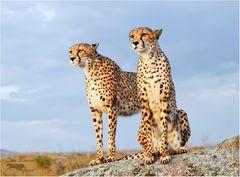 Zwei Geparden