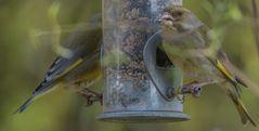 zwei Grünfinken_06.04.2020