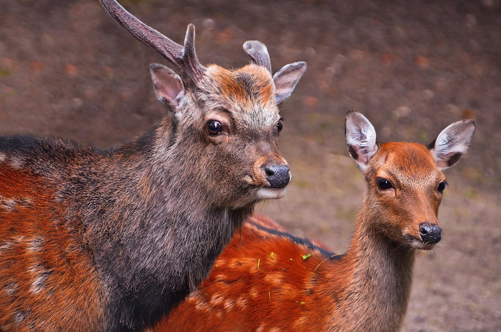 Zwei-Hirsche