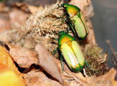 zwei hübsche Käfer