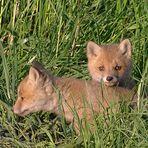 zwei junge Füchse