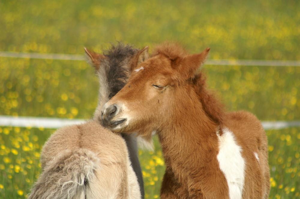 Zwei kleine Fohlen verliebt beim Mähnekraulen