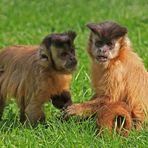 Zwei kleine Kapuziner