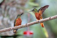 zwei Kolibris