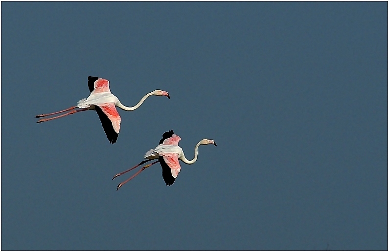 Zwei landende Flamingos