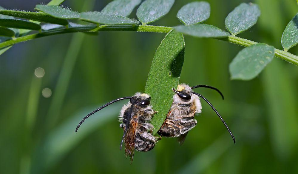 Zwei Langhornbienen im Tiefschlaf *. - Deux abeilles sauvages pendant leur profond sommeil!