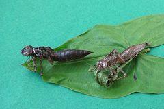 Zwei Libellen, Chitinpanzer